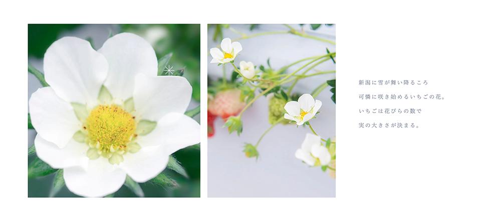 新潟県新発田市のいちご越後姫生産農家・加工・直売所 Ichi-Rinのホームページ制作のイメージ写真「新潟に雪が舞い降るころ、可憐に咲き始めるいちごの花。イチゴは花びらの数で実の大きさが決まる。」